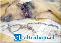 Esta es la cadena que casi le arranca la vida al perrito Danko, su amo lo abandonó y hoy usted lo puede adoptar, pues él está desparasitado y recuperándose de la operación en su cuello.