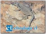 Una de las especies destacadas es el Matuasto de Alicahue, endémico de esta zona, de un gran tamaño (105mm) y del cual sólo se tienen registros en la comuna de Cabildo.