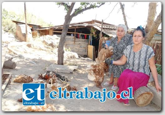 TODAS MUERTAS.- Muy dolidas por sus gallinas, las hermanas Lucía y Sara Sánchez muestran a Diario El Trabajo parte de sus gallinas muertas, luego de un misterioso ataque de lo que pareciera ser 'El Chupacabras'.