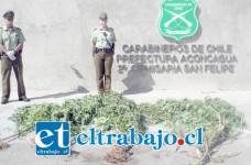 Siete plantas fueron decomisadas en villa Aconcagua de San Felipe. Las especies serán entregadas a la Seremi de Salud Aconcagua.