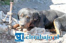 MURIÓ 'CABEZÓN'.- Este perrito es la última víctima de quienes están exterminando a las mascotas en Población 21 de Mayo.