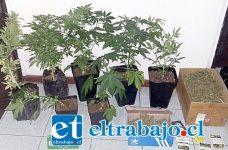 En una revisión del inmueble del detenido, hallaron dos cajas de zapatos con 822 gramos de marihuana elaborada, siete plantas cultivadas en un invernadero In Door y 23 maceteros con semillas de Cannabis Sativa.