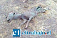La Junta de Vecinos del Cerro El Llano informó que en el canal La Compañía, apareció una cabra muerta y en avanzado estado de descomposición.