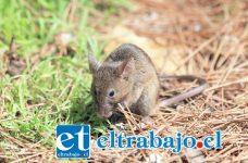 Los ratones rurales como el colilarga son los principales vectores de transmisión de la enfermedad.