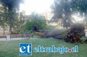 Un inmenso árbol cayó la madrugada frente a la Municipalidad de San Felipe, destruyendo escaños aunque sin dejar personas heridas.