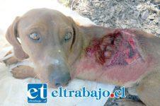 El indefenso can fue descubierto por vecinos del sector Las Vizcachas, quienes han estado ayudando en sus cuidados y recuperación.