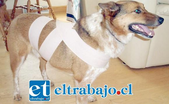 El Método Tellintgon consiste en vendar a la mascota en el pecho y abdomen, para generarle una sensación de seguridad y tranquilidad.