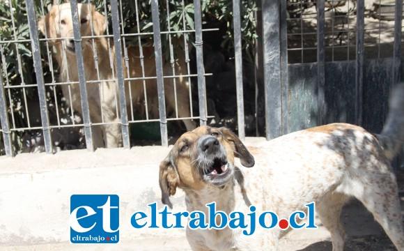 ELLOS MANDAN.- Estos sólo son dos de los perros de don Jorge San Martín, son agresivos, los vecinos aseguran que han mordido a las personas.