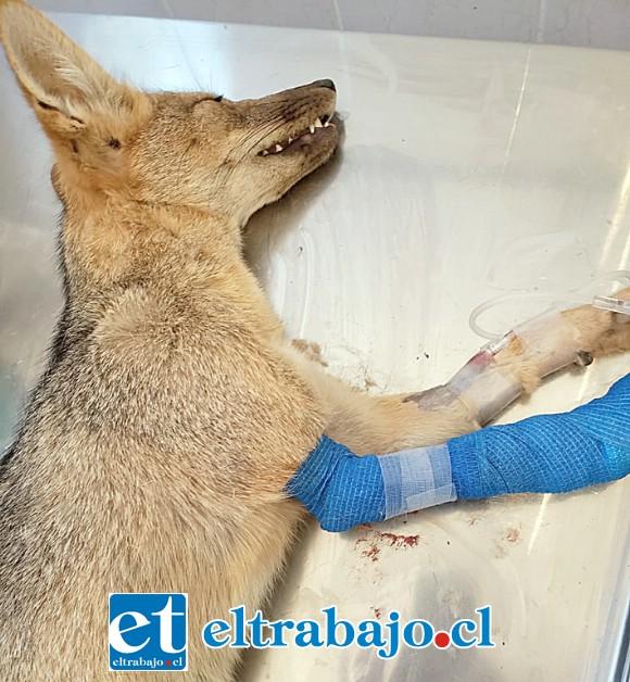 El animal tenía un lazo de conejo incrustado en la extremidad, provocándole una gran herida.