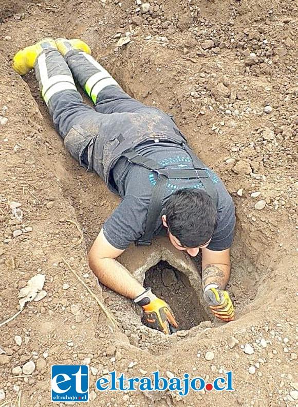 Los bomberos efectuando las labores de rescate del animal dentro de la tubería de cemento. (Fotografías: Emergencia Santa María).