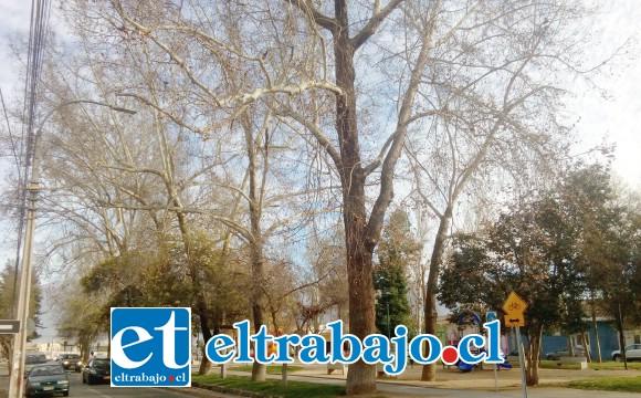 Los árboles de la alameda Chacabuco estarían secos, según algunos vecinos, y sus grandes ramas podrían desprenderse y causar una tragedia.