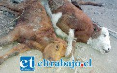 MUERTE Y DESOLACIÓN.- Este es el triste escenario que se repite en los cerros y valles de Aconcagua, por cientos mueren los animales por falta de pasto y agua.