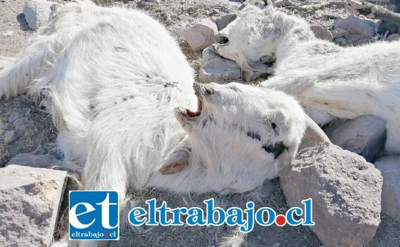 La mortandad de animales en el valle de Aconcagua alcanza cifras desoladoras, tal como las que se aprecian en la imagen.