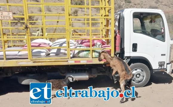 ANIMALES DESESPERADOS.- Esta cabrita se abalanzó sobre el camión con alimentos para mordisquear los sacos de afrecho, al lado se ve un burrito y otros cabritos. Por fin llegó la ayuda.