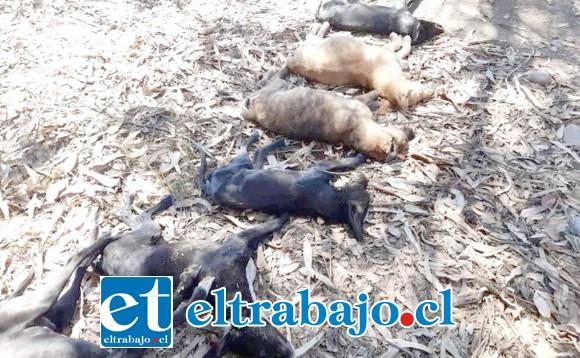 Trece perros, de los cuales once murieron, fueron envenenados mientras permanecían en un hogar temporal a la espera de ser dados en adopción en el sector de El Pedrero en la comuna de Calle Larga.