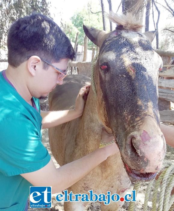 LUCHA POR SU VIDA.- Este médico veterinario atendió al pobre potro 'Comisario' en su lamentable estado, los dueños del animal esperan no tener que sacrificarlo.