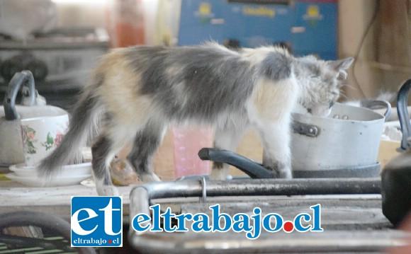 SOBREVIVIENDO.- Este gato busca, sin resultados, cualquier residuo de comida para saciar su hambre.