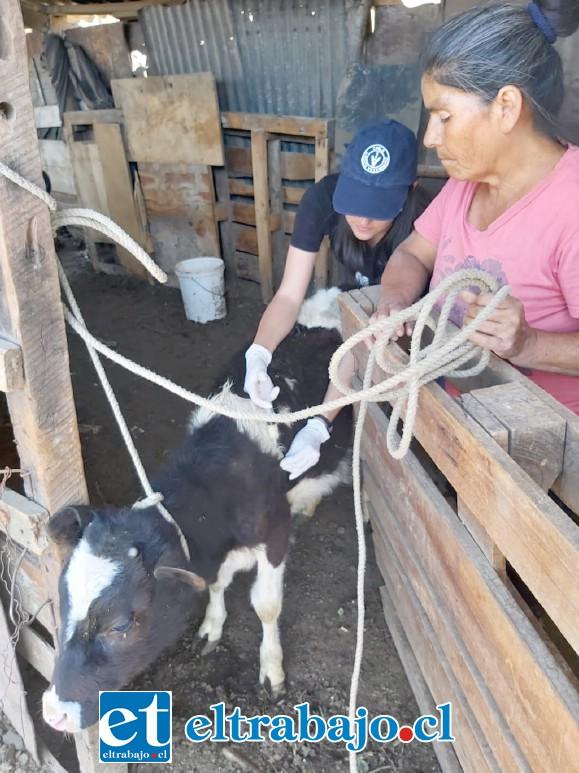 PRODESAL INTERVIENE.- Prodesal hizo ayer un operativo sanitario donde se vacunaron, se desparasitaron y se les aplicó vitaminas a los animales.