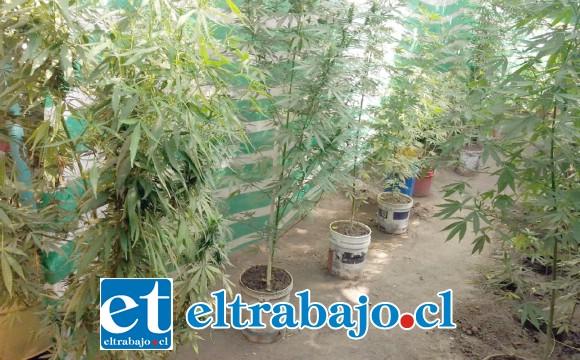 El cultivo de cannabis sativa se encontraba al interior del inmueble del imputado en la población Gabriel Mistral de Los Andes.