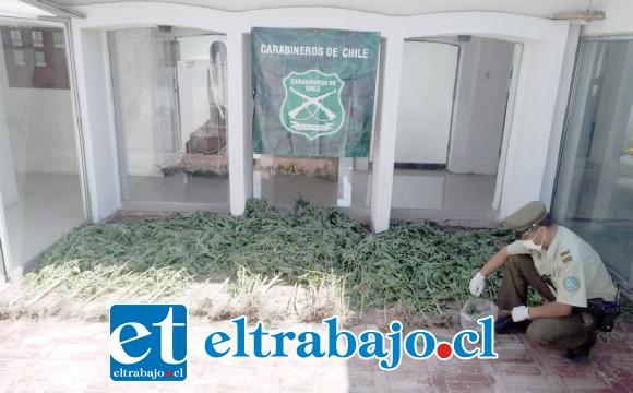 Personal del OS7 de Carabineros incautó 69 plantas de cannabis sativa junto a marihuana elaborada desde el domicilio del imputado apodado 'El Negro Alejo', en Los Andes.