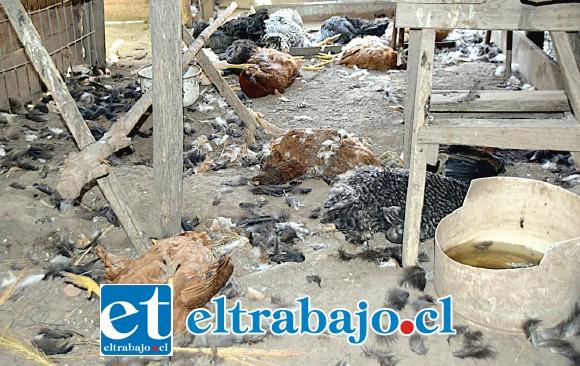 TODAS MUERTAS.- Esta macabra escena es la que encontró doña Susana Torrijos y su esposo Luis Castro en su gallinero: Su gallinero ahora era una 'Morgue'.