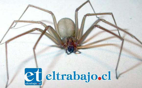 La araña de rincón reside principalmente en los hogares y el calor favorece su aparición. (Foto referencial).