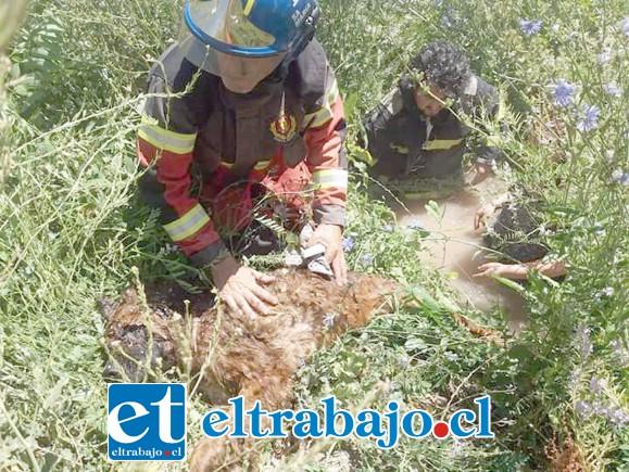 Bomberos logró rescatar al perrito del canal al mediodía de ayer. (Fotografías: Emergencias Santa María).