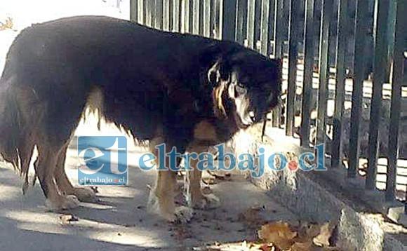 Uno de tantos perritos deambulando en alguna calle del valle de Aconcagua.