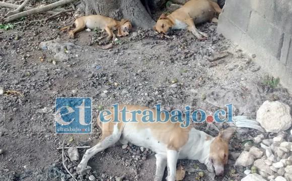 La muerte de los animales quedó al descubierto durante la tarde del pasado martes, cuando habitantes del sector encontrar una gran cantidad de canes agonizando tras comer carne con pesticidas.