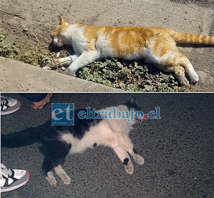 TODOS EN PELIGRO.- Estos dos gatos agotaron sus Siete Vidas intentando cruzar Avenida Chile, ¿y si fuese un niño?