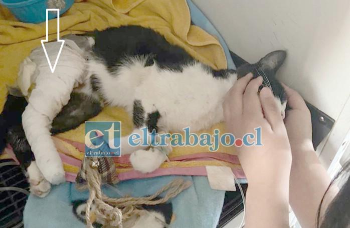 GATO ATROPELLADO.- Así de maltrecho quedó nuestro amiguito 'Miau' en la veterinaria, con yeso y todo aún necesita una operación para poder seguir disfrutando de las vidas que aún le quedan.